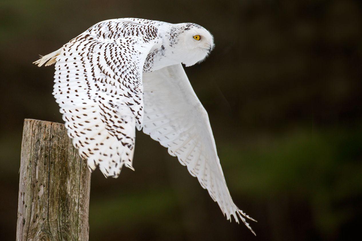 Snowy_Owl_-Canada-_leaving_a_perch